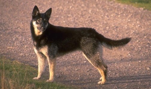 Фото №1 - В России собак научили выявлять рак на ранней стадии