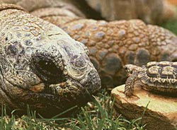 Фото №1 - Сколько живут черепахи?