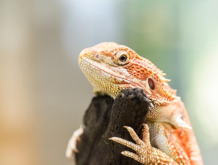 Фото №1 - Изменение климата превращает самцов ящериц в самок