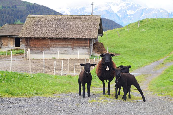 Фото №4 - Летняя Швейцария: горы возможностей для семейного отдыха