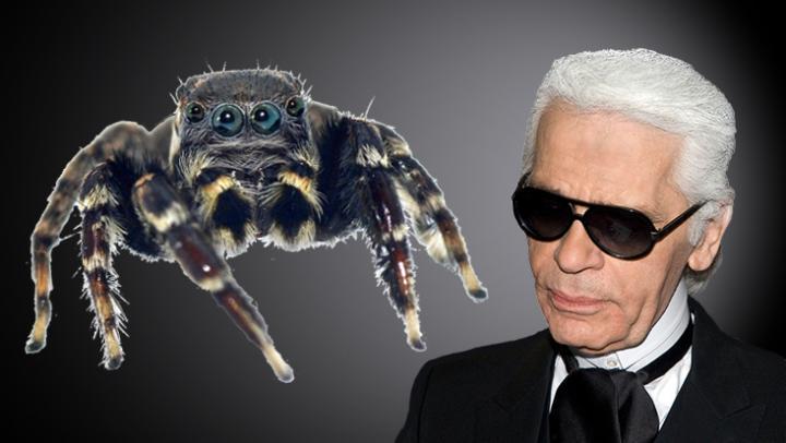 Фото №1 - В Австралии паука назвали в честь Карла Лагерфельда