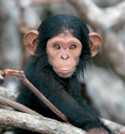 Фото №6 - Конкуати-Дули — территория шимпанзе