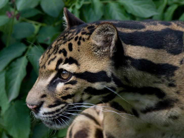 Фото №1 - Борнейскому дымчатому леопарду угрожает исчезновение