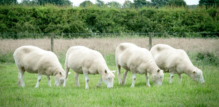 Фото №1 - На примере «сестер» овечки Долли доказана безопасность клонирования