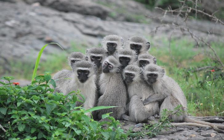 Фото №1 - Ученые рассказали о «женской солидарности» у обезьян