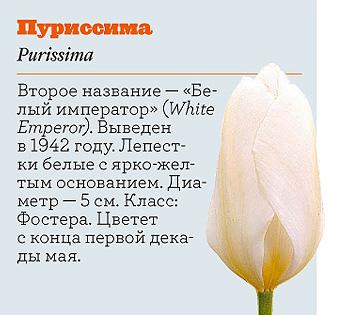 Фото №18 - Самые популярные сорта тюльпанов