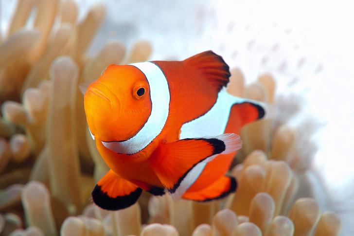 Фото №1 - Зачем рыбам-клоунам белые полоски