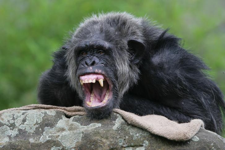 Фото №1 - Исследователи рассказали о «войнах» шимпанзе с гориллами
