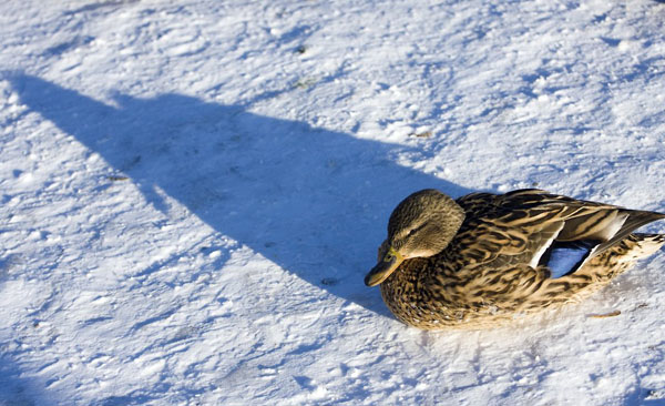 Фото №1 - Утки на зимней прописке