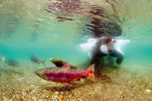 Фото №1 - Медвежья рыбалка. Репортаж cо дна озера