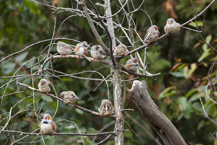 Фото №1 - Как птицы учатся петь