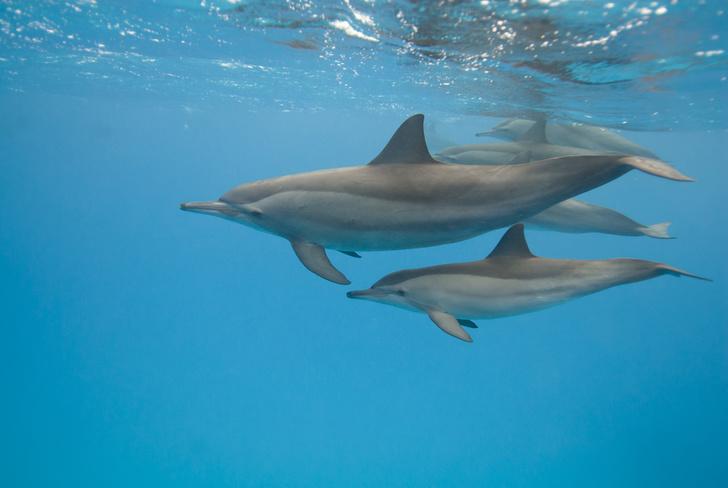 Фото №1 - Самки дельфинов разговаривают со своими малышами в утробе