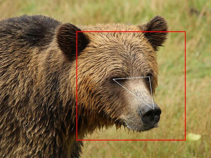 Фото №1 - В Канаде создана система распознавания медведей по внешности