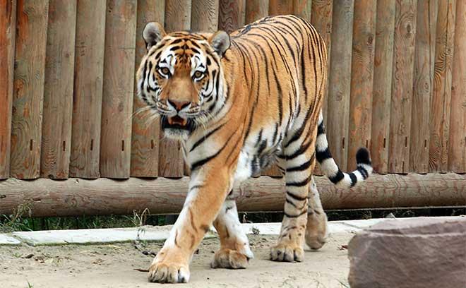 День амурского тигра в Ростове, зоопарк ростов, ростовский зоопарк, куда пойти в Ростове, афиша Ростова, куда пойти с ребенком