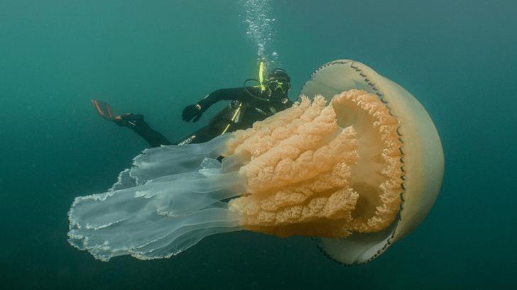 Фото №1 - Дайверы нашли самую большую в мире медузу (видео)