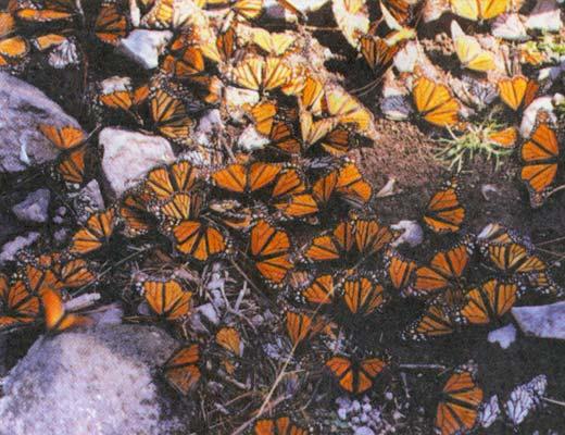 Фото №1 - Где зимуют монархи?