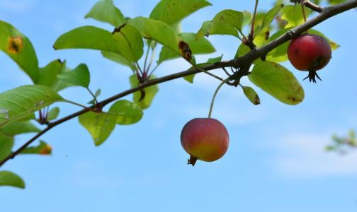 Фото №1 - В каждом третьем яблочном пюре эксперты нашли следы пестицидов