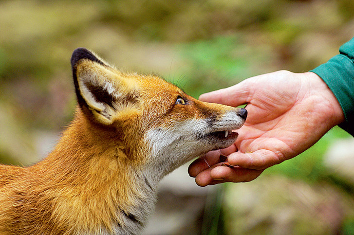Фото №10 - Союз рыжих: как лисы стали привычными дикими спутниками человека