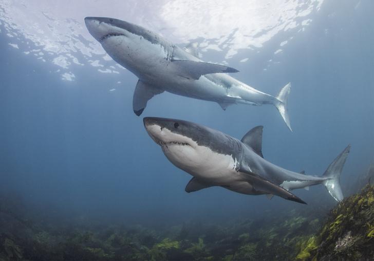 Фото №1 - Ученые объяснили исчезновение акул-людоедов у побережья Кейптауна