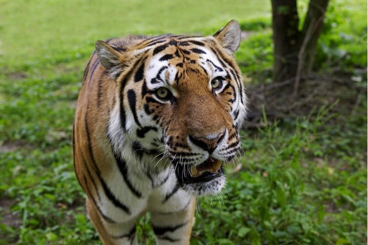 Фото №1 - Ученые подсчитали количество подвидов тигра