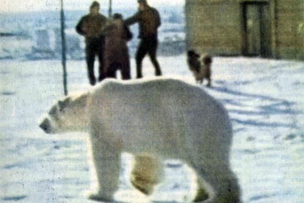 Фото №1 - Белые медведи живут рядом