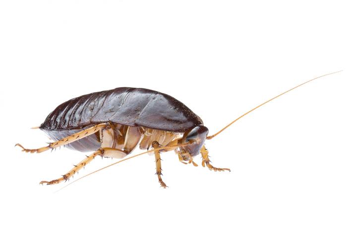 Фото №1 - Почему тараканы такие живучие
