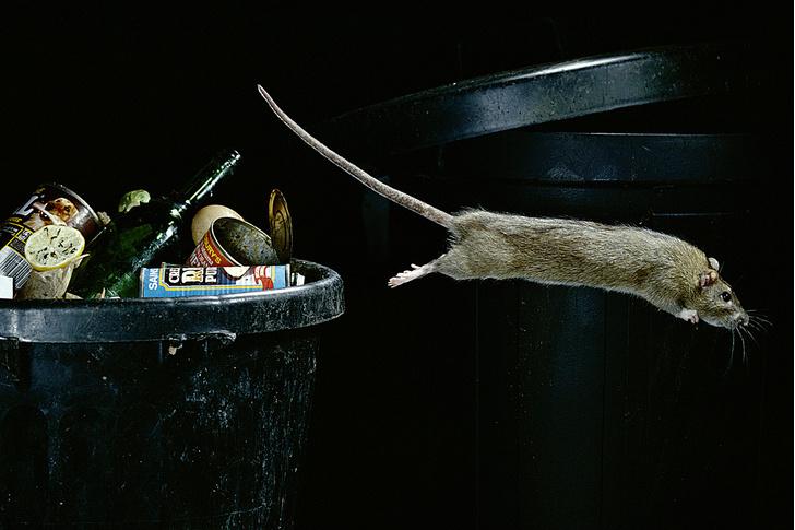 Фото №8 - Прогрызая путь: как устроено крысиное общество и чем оно похоже на человеческое