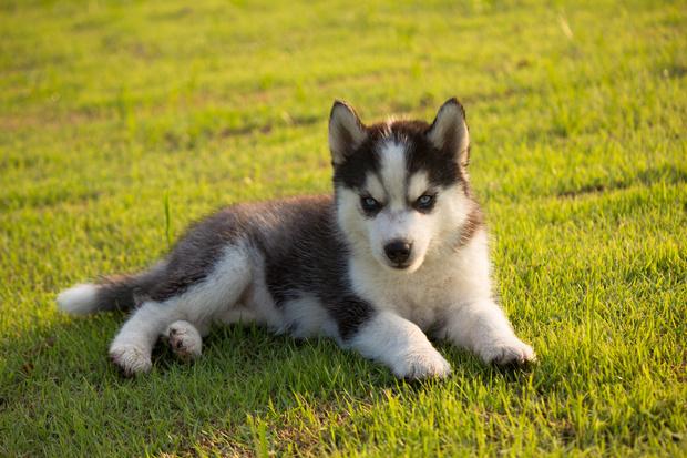 фото хаски щенка