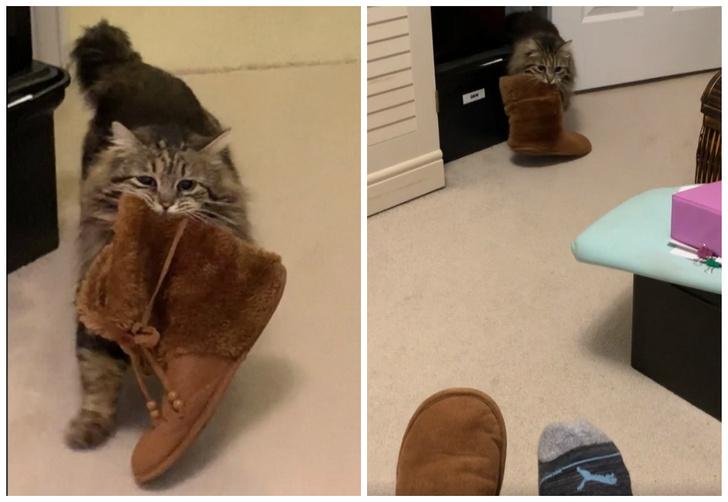 Фото №1 - Кошка Лулу, взятая из приюта, приносит хозяйке тапочки по утрам (видео)