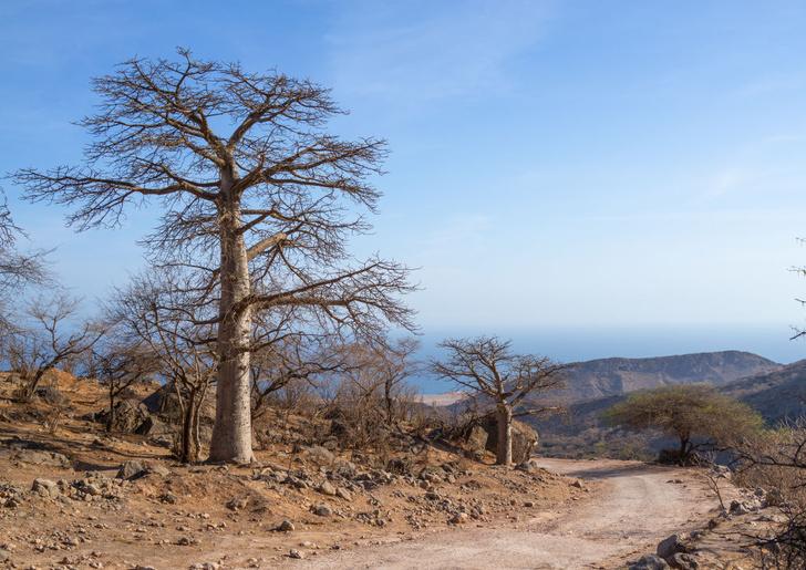 Фото №1 - Почему гибнут древние баобабы