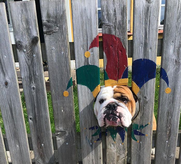 Фото №2 - Пес так любит смотреть на улицу из дырок в заборе, что хозяева нарисовали ему на досках веселые костюмчики (видео)