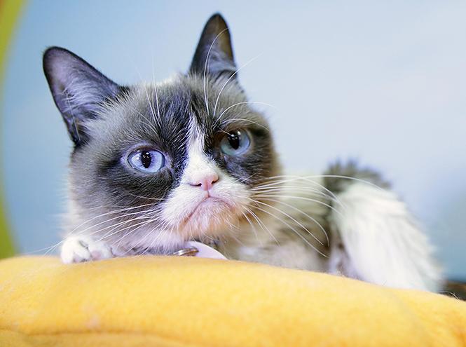 Фото №1 - В музее мадам Тюссо появится фигура Grumpy Cat