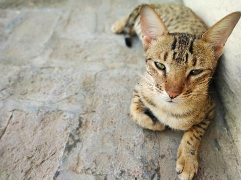 Фото №10 - Почти как люди: самые умные породы кошек