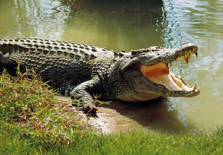 Фото №1 - В Австралии поймали гигантского крокодила