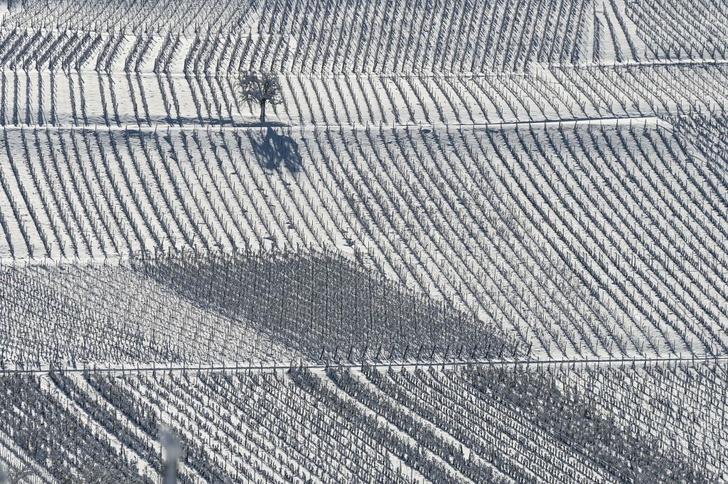 Фото №1 - Зимние виноградники