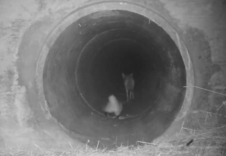 Фото №1 - Ночные камеры сняли, как койот помогает барсуку перейти дорогу по водосточной трубе (видео)