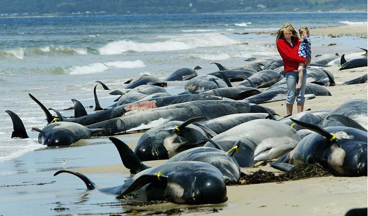 Фото №1 - В Австралии на берег выбросились десятки дельфинов