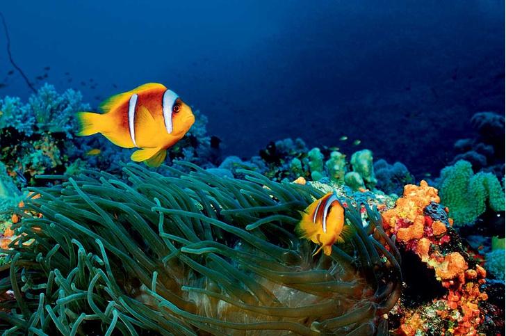 Фото №1 - Ядовитая правда Немо: 8 самых опасных обитателей Красного моря