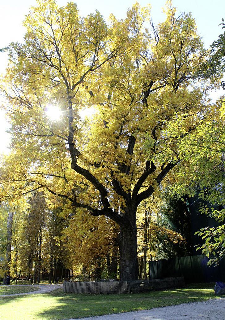 Фото №12 - Деревянные выборы: самые интересные деревья мира