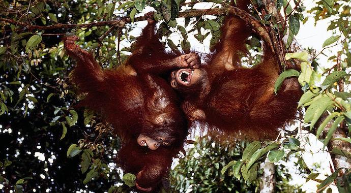Самка орангутана примерила очки туристки, умилив посетителей зоопарка