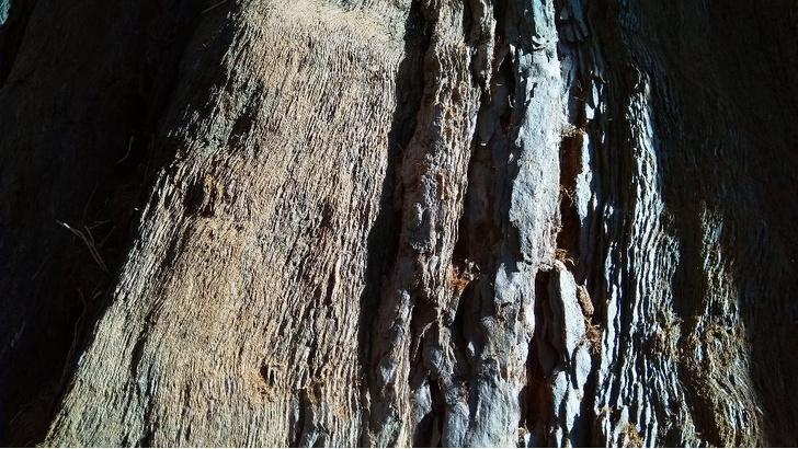 Фото №9 - Генералы среди деревьев: 10 удивительных фактов о гигантских секвойях