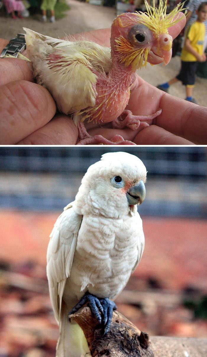 Фото №8 - 30 красивых птиц, которые были уродливыми птенцами (галерея)