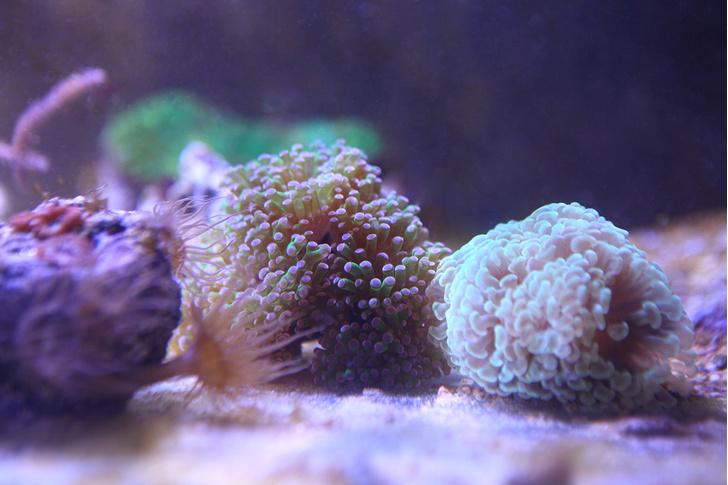 Фото №1 - В Приморском океанариуме начали выращивать кораллы
