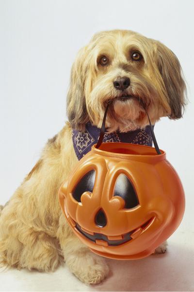 Фото №4 - Фотоподборка недели: собаки, которые уже готовы к Хэллоуину