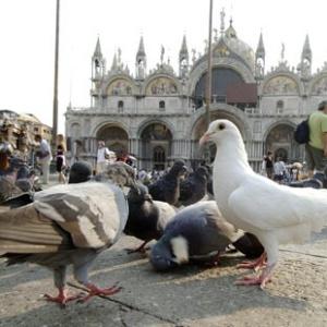 Фото №1 - В Венеции запретили кормить голубей