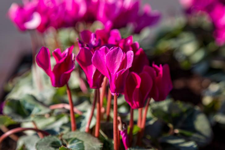 Фото №5 - 7 садовых растений опасных для домашних питомцев