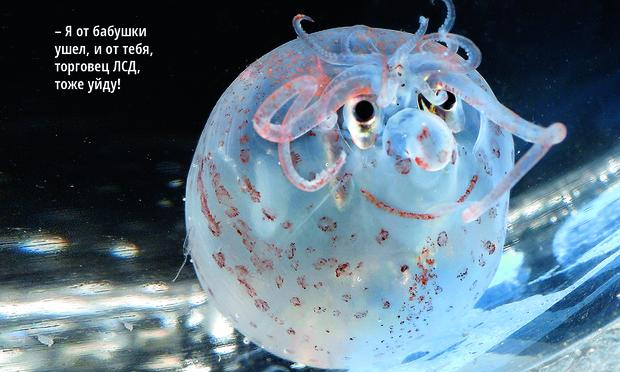 Фото №1 - Животное недели: поросячий кальмар
