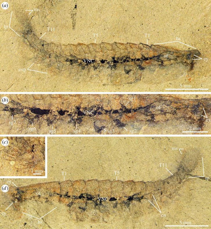 Фото №1 - Обнаружен древнейший ископаемый мозг