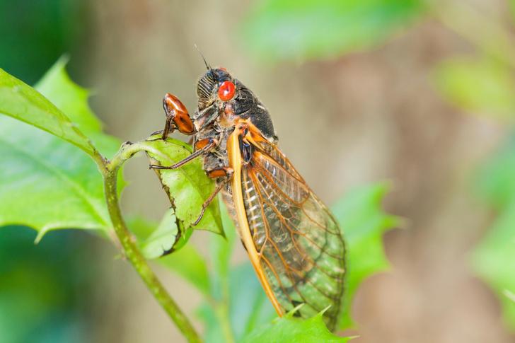 Фото №1 - США заполонили цикады