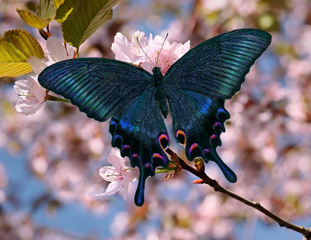 Фото №1 - 10 бабочек, крылья которых похожи на полотна импрессионистов